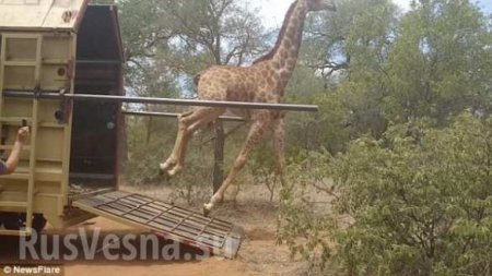 Счастливый жираф запутался в своих ногах, убегая на волю (ФОТО, ВИДЕО)