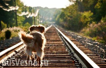 Под Петербургом машинист остановил поезд ради спасения собаки и получит наг ...