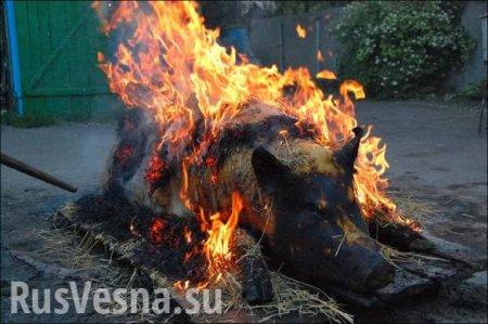 НаУкраине будет уничтожена тысяча свиней