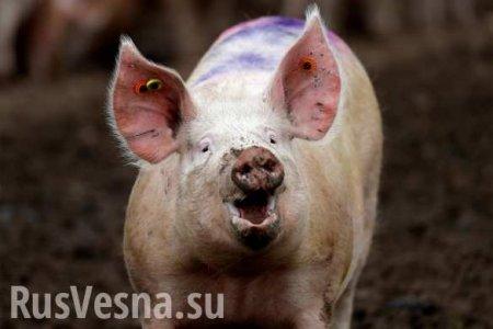 Свиньи могут пользоваться инструментами — учёные сделали открытие (ВИДЕО)