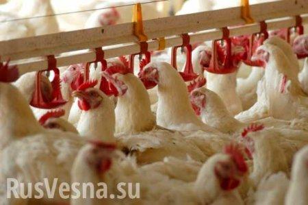 ВНовосибирске сотрудникам птицефабрики платили зарплату курами