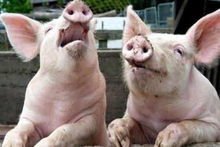 Это крах: кто-то уничтожает украинское свинство (ФОТО)