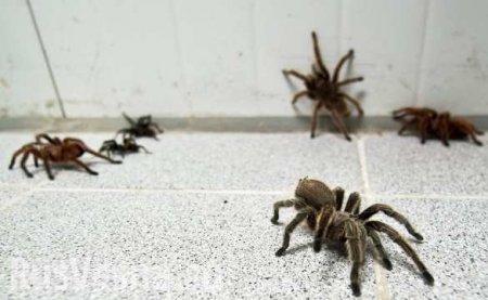 Чудовищные последствия глобального потепления: московский регион наводнят тарантулы, фаланги икаракурты
