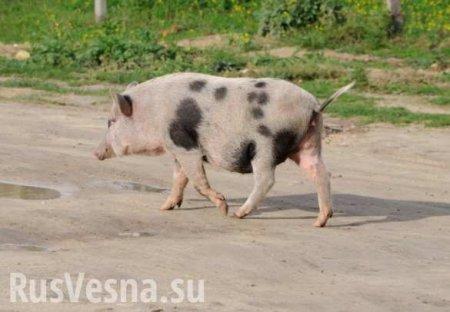 Символично: на западной Украине уходящий год проводили забегом свиней (ВИДЕО)