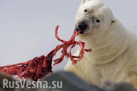 «Едят друг друга»: российские учёные рассказали о белых медведях-каннибалах