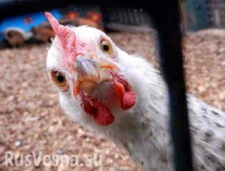 Хроники одичания: Британцы начали массово красть кур