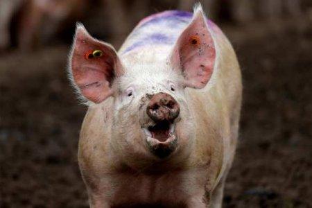 Украинец из-за ревности забрал у соперника свинью